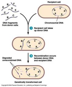 Recombination in Bacteria - Transformation, Transduction and ...