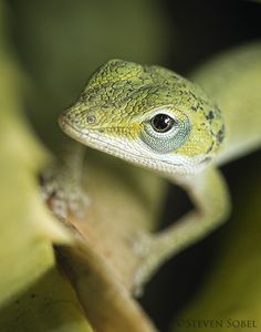 Young Green Anole Portrait by Steven Sobel on Flickr.