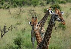 Bonamanzi is home to the Big 4, plus Giraffe, zebra, Wildebeest, Nyala, Red Duiker, as well as many other smaller animals