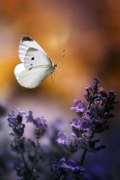 ✿⊱❥ Lavanda #borboleta