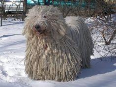 Komondor #dogs #animal #komomnder Large Dog Breeds, Large Dogs, Dog Lover Gifts, Dog Lovers, Komondor, Creature Feature, Beautiful Dogs, Cute Dogs, Cute Animals