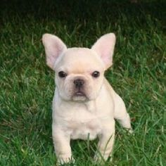 Mini French Bulldog I So Must Have This Adorable Baby