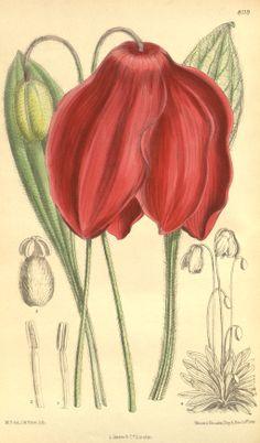Meconopsis punicea - circa 1907. Antique botanical illustration.