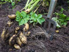 Odla i pallkrage – här är allt du måste veta | Leva & bo Eggplant, Organic, Vegetables, Garden, Tips, Garten, Lawn And Garden, Eggplants, Vegetable Recipes