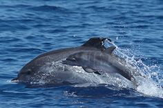 The Atlantic spotted dolphin (Stenella frontalis) is a dolphin found in the Gulf Stream of the North Atlantic Ocean.
