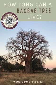 Did you know? Baobab trees can live up to 2000 years! They can survive in very harsh, almost desert-like conditions because their trunks can store up to 75% water. They are perhaps one of the most water-wise plants in the world! Baobab Tree, Water Wise, Trunks, Canning, Live, Store, Plants, Drift Wood, Tree Trunks