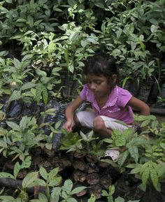 Pablo's youngest daughter helping to take care of the families growing Inga seedlings.