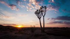 Linear and pan timelapse of a young silhouette quiver tree at sunrise against a dramatic sky with scattered clouds and sun flare as the landscape light up, with a parallax view. - HD stock footage clip