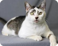 Blackwood, NJ - Domestic Shorthair. Meet Lionel (Brooklawn Petco), a cat for adoption. http://www.adoptapet.com/pet/17598863-blackwood-new-jersey-cat