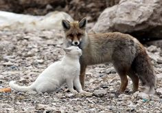 Cat and Fox are best friends.   On the shore of Lake Van, near the town of the same name, you can see this unusual couple friends - a cat and a fox. Local fishermen say the first time they saw these friends was when they were eating fish left after the catch. Since then, the common meal turned into a friendship that has been lasting for more than a year.