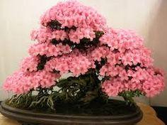 os bonsais mais lindos verdadeiras esculturas naturais - Pesquisa Google