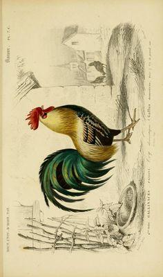v. 1 1849 - Atlas (Zoologie - Humaines, Mammiferes & Oiseaux) - Dictionnaire universel d'histoire naturelle : - Biodiversity Heritage Librar...