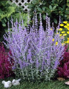 Russian Sage Perovskia atriplicifolia Little Spire from Growing Colors