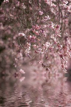 Cherry Blossoms by the River
