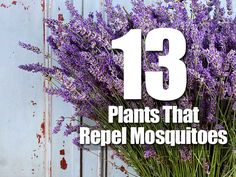 Love being outdoors but sick of those annoying blood-sucking mosquitoes? Put down the sprays and nets, here are thirteen different mosquito repellent plants you can grow that'll help keep the mosquitoes away. Bug zappers are also annoying, and leave you sitting among insect parts. Moreover, you may not be in the mood for smoky candles …