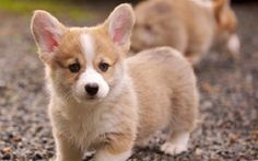 corgi puppies las vegas | Zoe Fans Blog