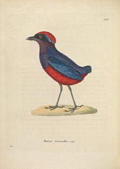 Nouveau recueil de planches coloriées d'oiseaux :. A Strasbourgh ;Chez Legras Imbert et Comp.,1838