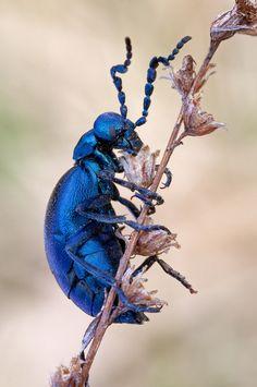 European oil beetle - Meloe proscarabaeus