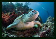 under-sea-turtle