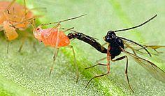 Ökológiai védekezés állati kártevők ellen II. Insects, Gardening, Animals, Animales, Animaux, Lawn And Garden, Animal, Animais, Horticulture