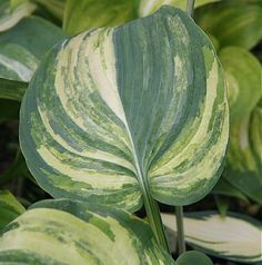 Fire and Brimstone Hosta - Several shades of yellow, white and green streak through this 'Guardian  Angel sport that may form a huge clump. Somewhat unstable and will change from year to year, some...