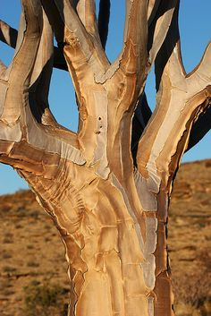 quiver tree - interesting bark.  And do I just anthropomorphize everything or does that look like the torso of a man with arms and a head?