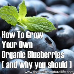 "❤Blueberries are a fantastic fruit to consider for your garden. Aside from the fact that the perennial blueberry plants only take up a fairly small space and will definitely make a wonderful sight in your landscape, this ""superfruit"" is fortified with healthy and nutritious punch that will surely benefit your body.❤"