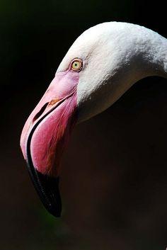 Greater flamingo These birds look like disney villains Flamingo Photo, Flamingo Bird, Pink Flamingos, Greater Flamingo, Kinds Of Birds, Shorebirds, Yellow Sunflower, Bird Drawings, Disney Villains