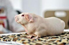 Baldwin bald piggy!