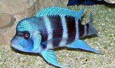 Cyphotilapia Frontosa (blue M) - คลิกที่นี่เพื่อดูรูปภาพใหญ่