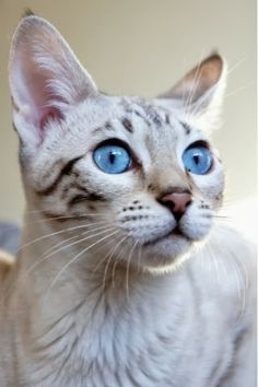 5 Amazing kittens with blue eyes, Click the pic to see all