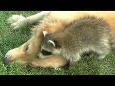 Raccoon VS Dog