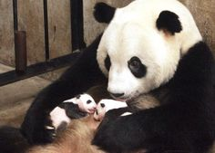 Panda momma and twin babies~