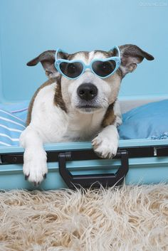 This cute Jack Russell is ready to go on vacation! #puppy #love