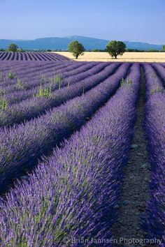 Rows of Lavender and wheat fields converge along the Valensole Plateau, Provence France. © Brian Jannsen Photography
