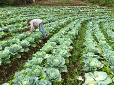 Cabbage farm in San Jose de Guajiquiro revitalized by emergency water supply repair #TerraMica and supporters funded! It was a great #MercyProject #agriculture