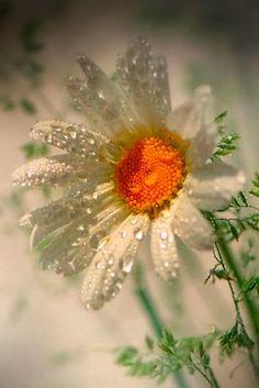 Rain Drop #flower