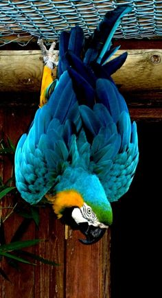 Blue & Gold Macaw. major clowns! LOL!