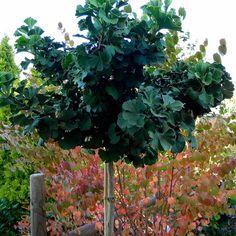 Plant | Ginkgo, Mariken Treeform