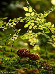 amanitas in the woods! by {machel spence}, via Flickr