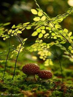 amanitas in the woods! by {machel spence}, via Flickr