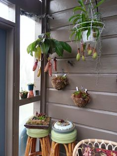 Carnivore Corner: Hanging Nepenthes Miranda and Alata pitcher plants, various baby nepenthes and bog carnivores in dishes.