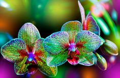 due splendide orchidee