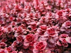Sedum Spurium Dragons Blood - Zone 3 - weed choking ground cover - deer resistant - PERFECT FOR ALONG THE STONE WALL!!!