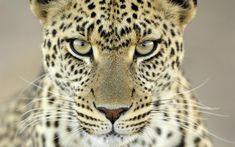 Leopard 260536
