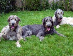 Irish Wolf hound.