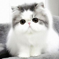 We present to you TOP 30 Cute Cats and Cute Kittens picture gallery. I love cute cats too. I think you like little kittens too. Cats and little kittens are one Pretty Cats, Beautiful Cats, Animals Beautiful, Cute Animals, Pretty Kitty, Lovely Eyes, Animal Fun, Animals Dog, Funny Animal