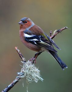 Chaffinch by Ronald Coulter, via 500px