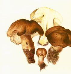 Original print taken from a French 1950' Atlas. Excellent vintage condition. Thick paper. Page size: 22cm x 28.5cm / 8.65 x 11.20 inches.  More #mushroom prints ; www.etsy.c... #botanical #brown #forestal #science ➡️ http://jto.li/HT7gf