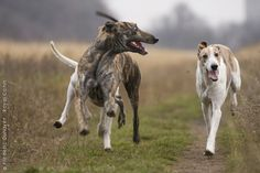 is there anything better than watching a dog run so fast their ears flap in the wind?